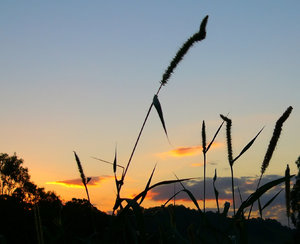 Sunset Silhouettes 1: I had to stop in a mosquito-riddled area to capture these. Silhouetted grasses against a sunset sky.
