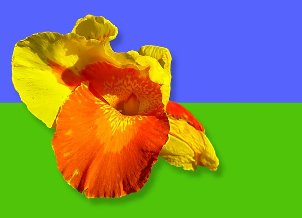 Canna - Colours of Summer 1