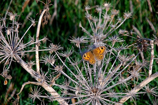 Dry plants & butterfly