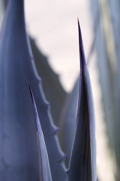 Agave Spines: Agave spines