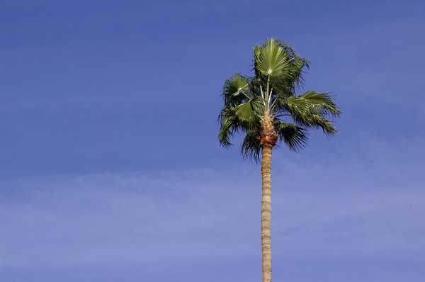 Phoenix Palm: A palm tree in central Phoenix on a windy day.