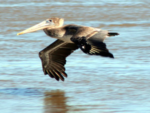 Texas Pelican Flying Low: Pelicans flying in Kemah, Texas on the Texas Gulf Coast