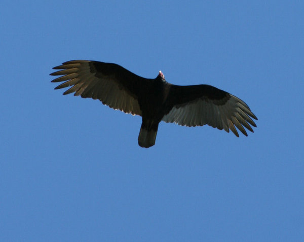 Turkey Vulture: Turkey Vulture Flying Above me.