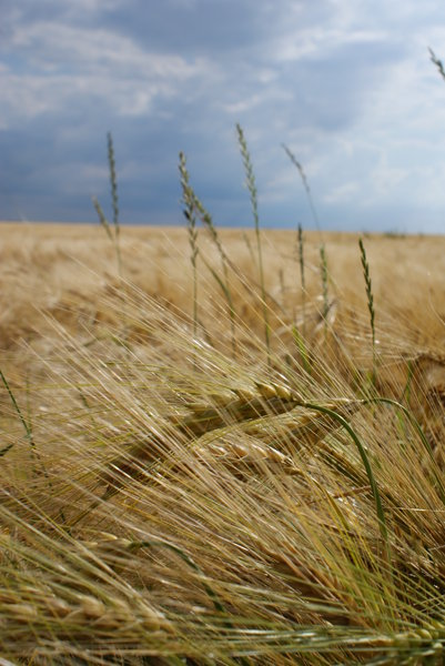 wheatfield 1: The wheat of the summer