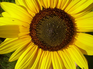 black-eyed-susans 2