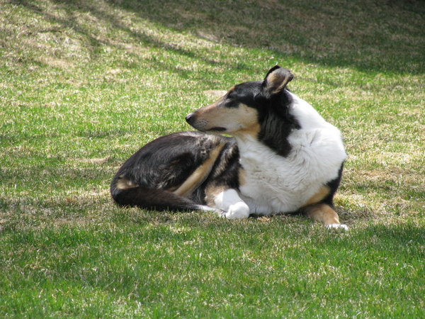 Smooth Collie: