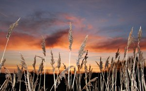 Reedbed at sunset 2