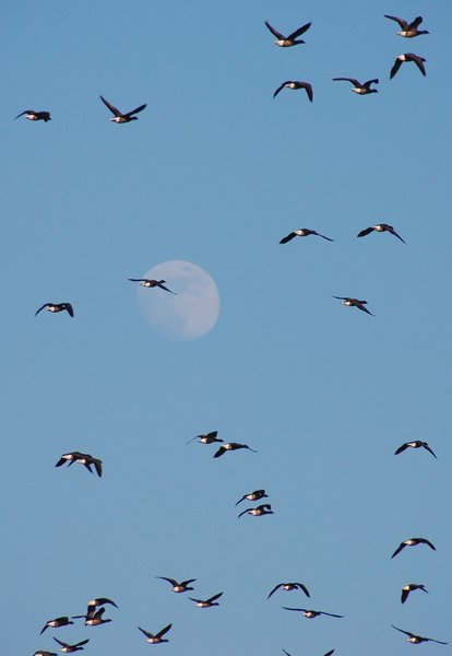 Wild geese 1