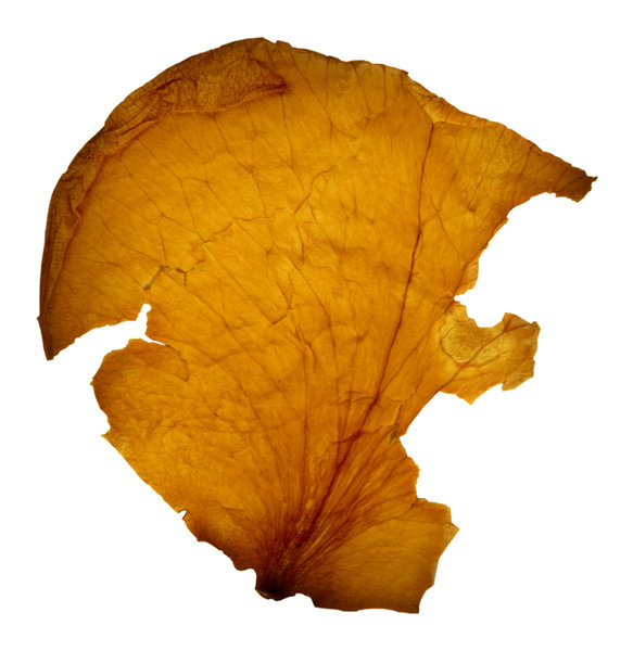 Petal Cut Out: A dried yellow rose petal cut out from the background.Please visit my stockxpert gallery:http://www.stockxpert.com ..