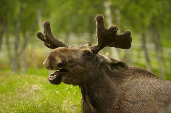 Portrait of a young male moose
