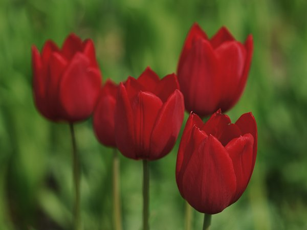 Red tulip: red tulips in a green background