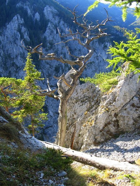Dried tree: Dried tree in the Austrian Rax Alps