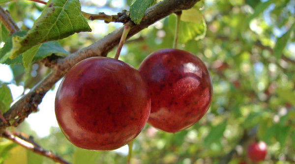 red pair: two wild plum