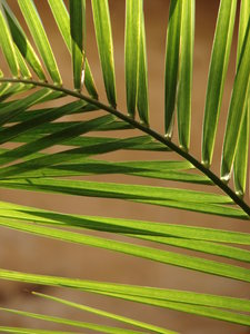 palm leaf 1: palm leaf closeup
