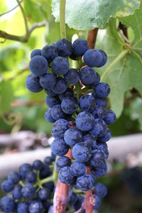 Grape 2: Grapes from Madeira