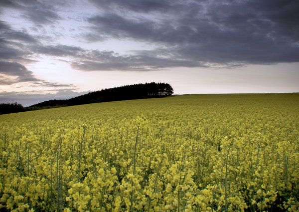 rape by evening: rape field