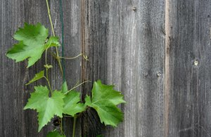 wine leaves: wine leaves in front of a wooden wall