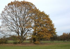 oak tree in autumn: I watch an old oak tree under the seasons (See pictures Nr. 1001434 and 103 5505)
