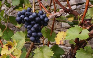 wine grapes: still life photo during vintage