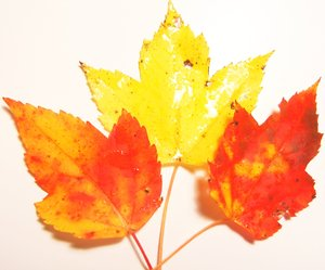 3 Leaves: 3 colorful leaves