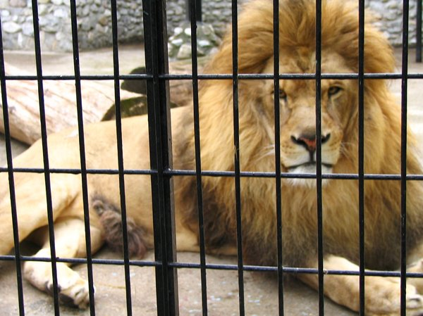 Lion: Lion in cage