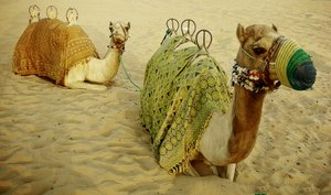 Camels: dressed camels taking a break in the desert