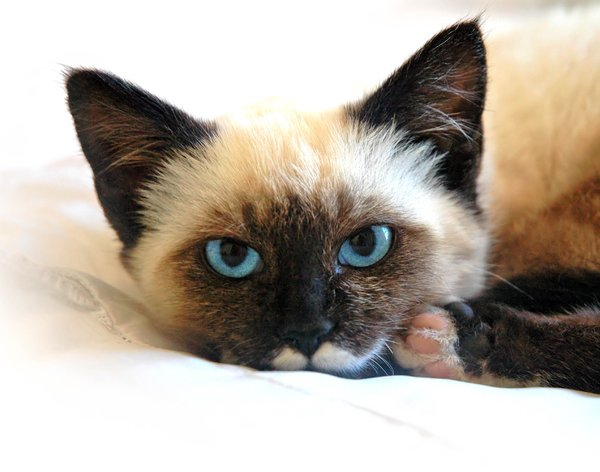 Siamese in a good mood: My cat in another mood.NB: Credit to read