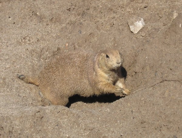 black-tailed prairie dog 2