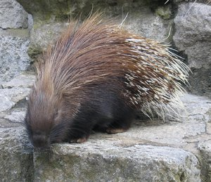 white-tailed porcupine
