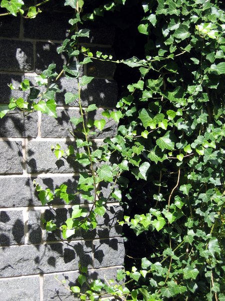 ivy brick wall in sunlight