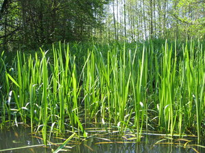 reeds in the sun at Spree Fore