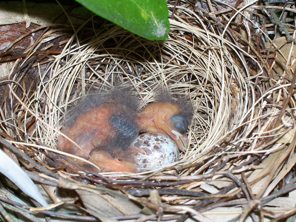 Spring time in the air!!: the baby cardinal, it hatched!!! sooo neat to see!!