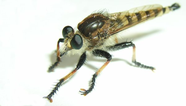 Robber Fly: no idea what this was at the time,  but he was neat looking!!! so i had to catch him in a little bowl and then make him pose for me!! not an easy feat when your scared of bugs!!!http://www.bootstrap-anal ..