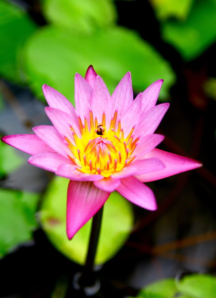 Waterlily 7: Water Lily