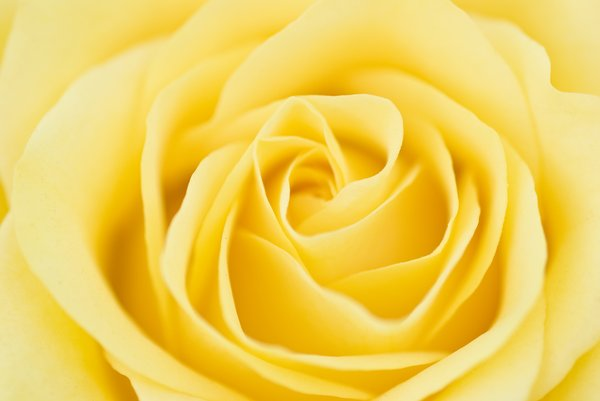 Rose heaven yellow