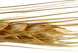 Wheat: A close-up of decorative wheat.