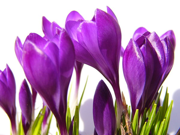 Crocus on white1