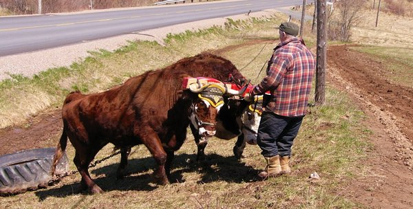 Oxen Pull: Clarie with his two young oxen in Scotch Village, Nova Scotia, Canada