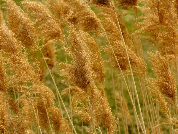 Reeds In The Wind: These were just elegant looking as the wind moved then back and forth.