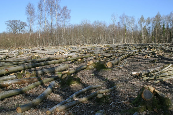 Felled woodland: Deciduous woodland in West Sussex, England, in spring. The trees - mainly ash (Fraxinus) - have been cut for making charcoal.