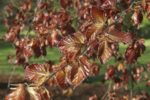 Copper beech: Young leaves of a copper beech tree (Fagus sylvatica f. purpurea) in West Sussex, England, in spring.