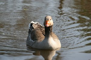 Greylag goose: A greylag goose (Anser anser) on a pond in West Sussex, England.