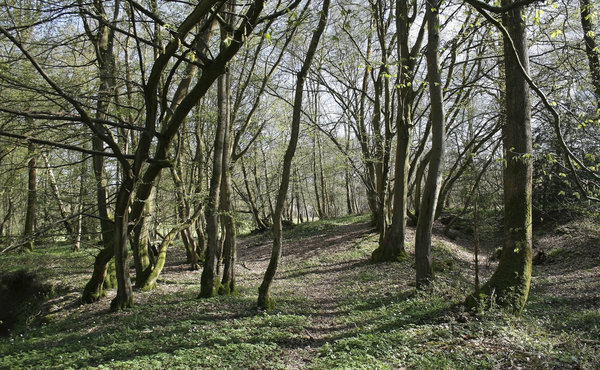 Greening trees: Woodland in West Sussex, England, turning green with new leaves in spring.