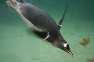 Swim!: Penguin from Bergen Aquarium