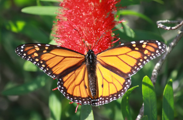 Monarch on flower