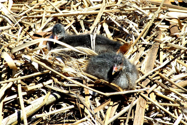 coot nestlings: coot chicks in water's edge reed nest