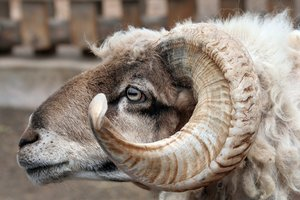 Curly Horned Ram: Close up of a ram's head.