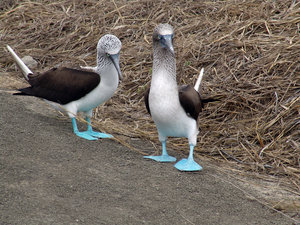 piqueros - blue footed boobies: Birds with blue feet