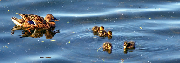 Mother duck and her children