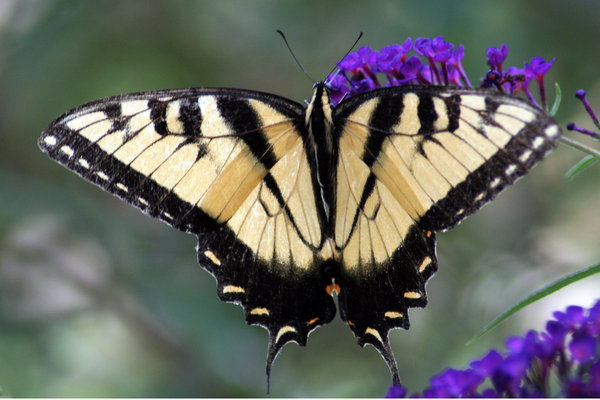 SWALLOWTAIL 10: ANOTHER OF THE SWARMING BUTTERFLIES